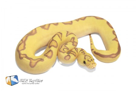 Pastel Enchi Coral Glow Clown - Ball python ( 30-457-2020-IR-YTR )
