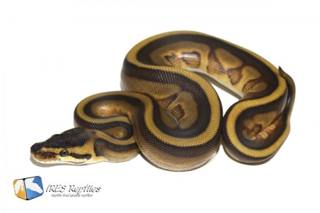 Leopard Enchi Genetic Stripe 66% het Clown - Ball python ( 30-463-PH11-2020-IR-OAS )