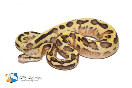 Leopard Vanilla Cream Yellow Belly - Ball python ( 30-471-2019-IR-XLS )