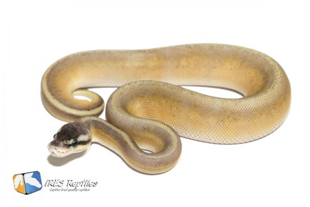 Super Pastel Black Head Genetic Stripe - Ball python ( 30-448-2020-IR-ZCV )