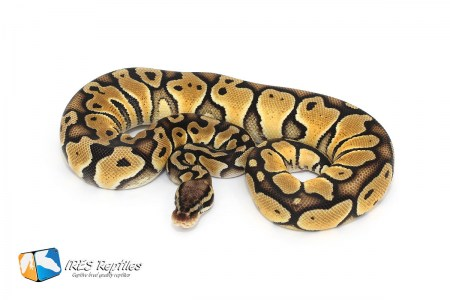 Pastel Special - Ball python