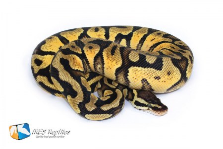 Pastel Yellow Belly - Ball python