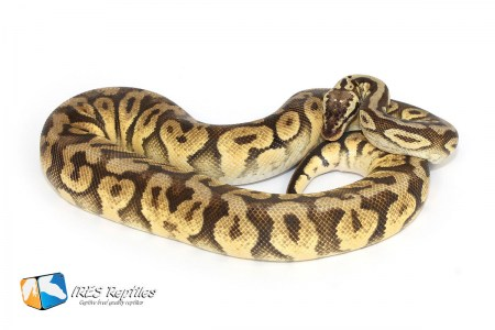 Super Pastel Yellow Belly - Ball python
