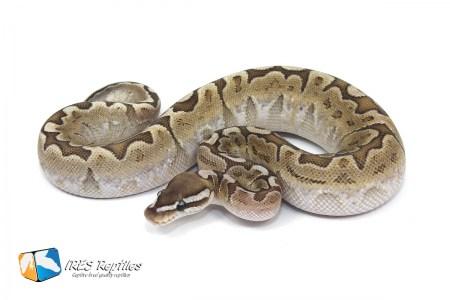 Our Ball Python Python Regius Collection Ires Reptiles