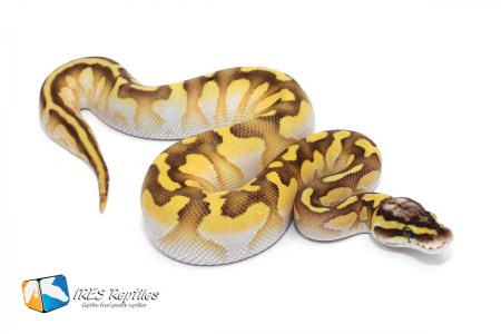 Butter Pastel Enchi Calico - Ball python