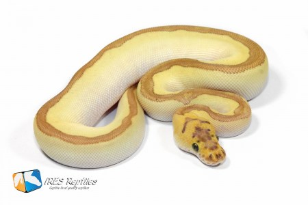 Butter Enchi Stranger Clown - Ball python