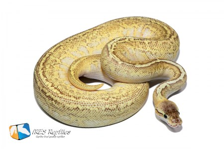 Butter Pastel Moray - Ball python