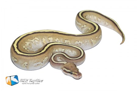 Butter Stranger Fire - Ball python