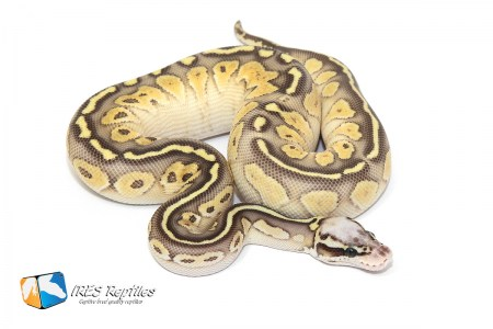 Butter Super Pastel Yellow Belly - Ball python