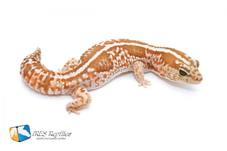 Caramel Whiteout - Fat-tailed gecko