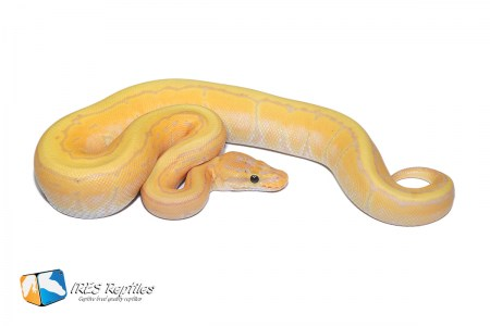 Coral Glow Butter Pinstripe - Ball python