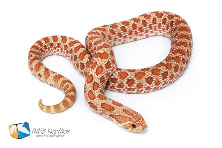 Dutch hypo - Western hognose snake