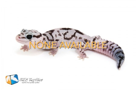 fat-tailed-geckos-none-available