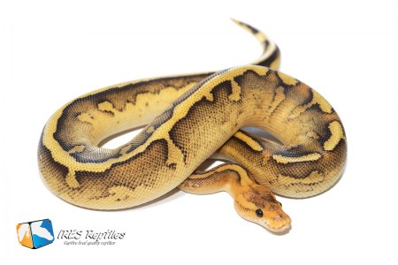 Leopard Fire Champagne - Ball python