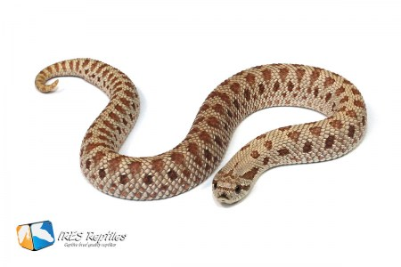 Frosted - Western hognose snake