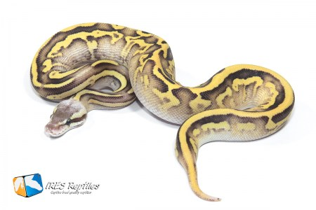 Leopard Mojave Firefly - Ball python