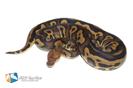 Leopard Stranger Clown - Ball python