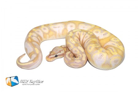 Pastel Coral Glow Calico - Ball python