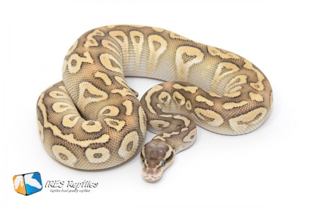 IRES Reptiles - Collection - Python Regius / Ball python morph Pastel Phantom Crystal ( Baker line Special )