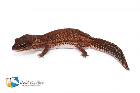 Patternless - Fat-tailed gecko