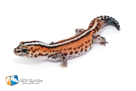 Patternless Whiteout - Fat-tailed gecko