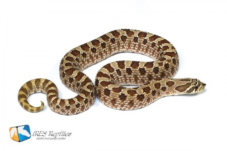 Shadow - Western hognose snake
