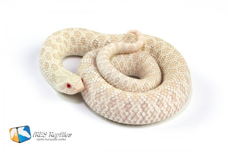 Snow - Western hognose snake