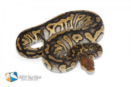Stranger Clown - Ball python
