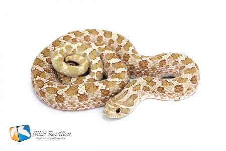 Toffee Belly - Western hognose snake