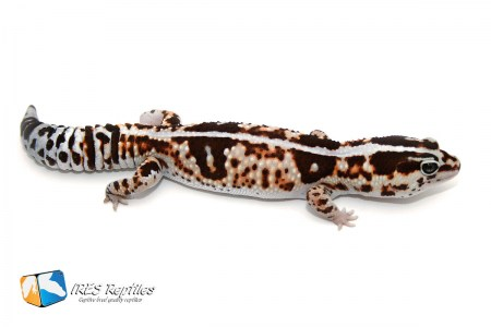 Whiteout - Fat-tailed gecko